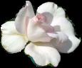 witte-roos-0-mooi